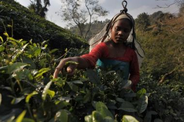 A labourer plucks tea on the Amchong tea estate in northeastern ...