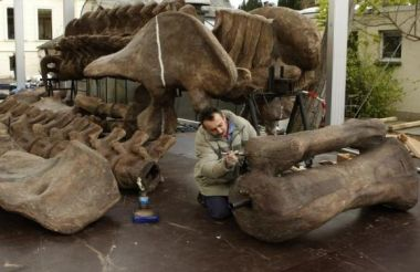 Worker prepares fossilized skeletons of Argentinosaurus