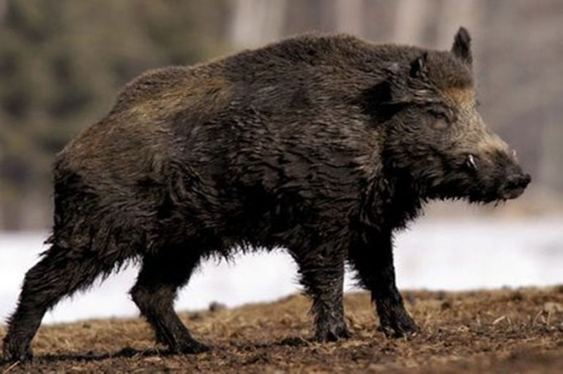 ISIS monsters killed by . . . rampaging wild boars?