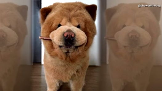 this-adorable-dog-is-so-fluffy-people-mistake-him-for-a-stuffed-animal