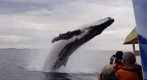 Huge whale jumps out of nowhere during sightseeing tour