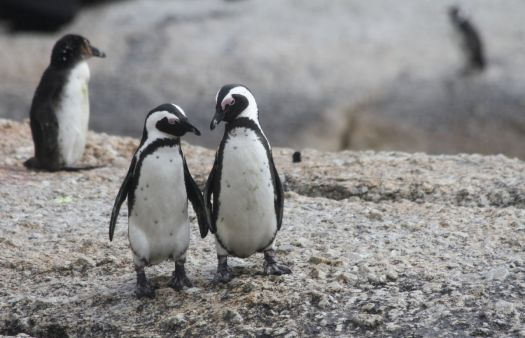 Please, not the gay penguins again